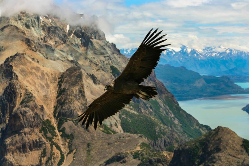 Condor dans le Parc Torres del Paine