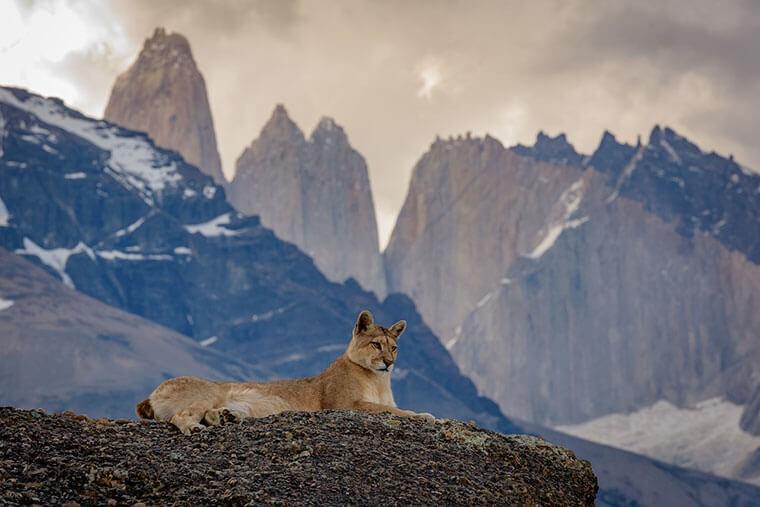 Puma dans le Parc Torres del Paine